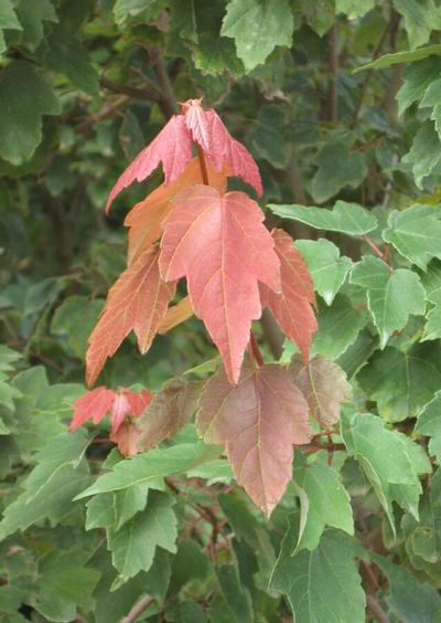 Summer Red® Maple Acer