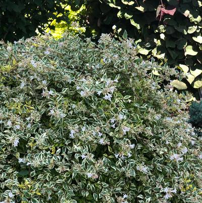 Twist of Lime™ Abelia Abelia