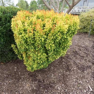 Golden Rocket Barberry Berberis