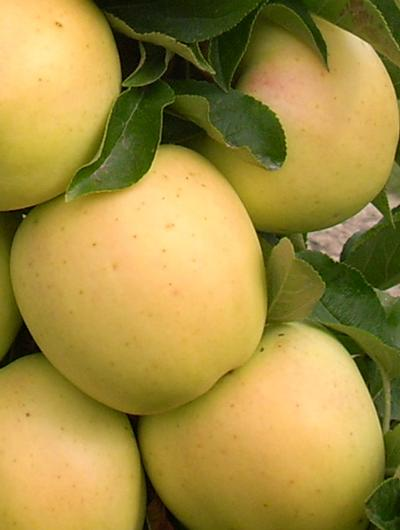 Golden Treat™ Malus