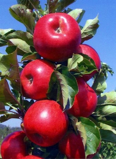 Tasty Red™ Malus