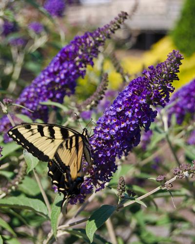 Asian Moon Butterfly Bush Buddleia