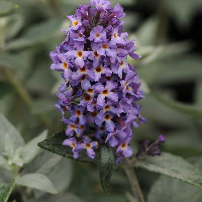 Blue Heaven Butterfly Bush Buddleia