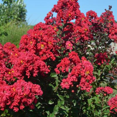 Princess Holly Ann™ Crapemyrtle Lagerstroemia