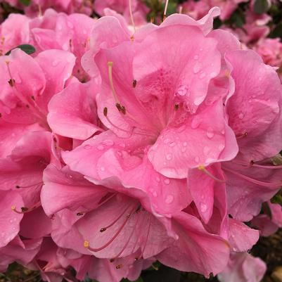 Pink Adoration™ az Rhododendron