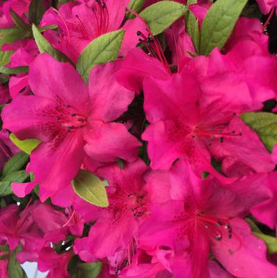 Purple Spectacular™ az Rhododendron
