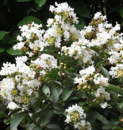Enduring ™ White Crapemyrtle Lagerstroemia