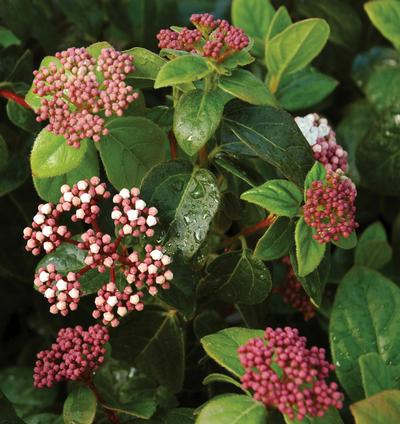 Shades of pink viburnum from garden debut more information mightylinksfo
