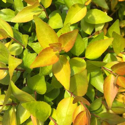 Twist of Lemon™ Abelia Abelia