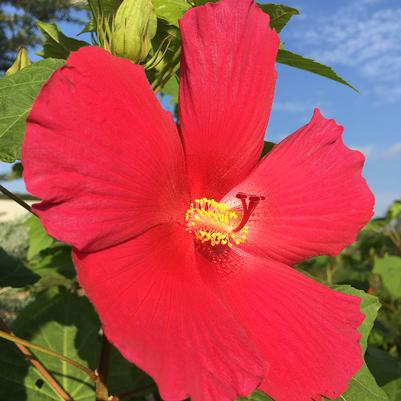 Big Hit™ Red Hardy Hibiscus Hibiscus