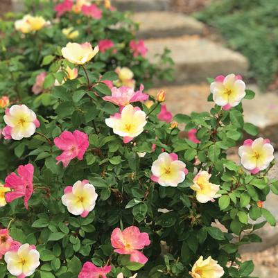 The Champion™ Sunblush Rose Rosa