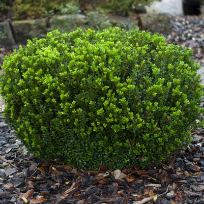 Baby Gem Boxwood Buxus