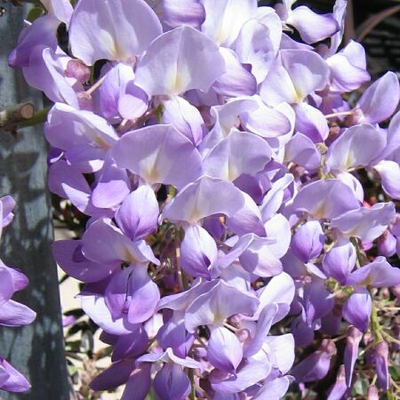 Lavender Falls Wisteria From Garden Debut