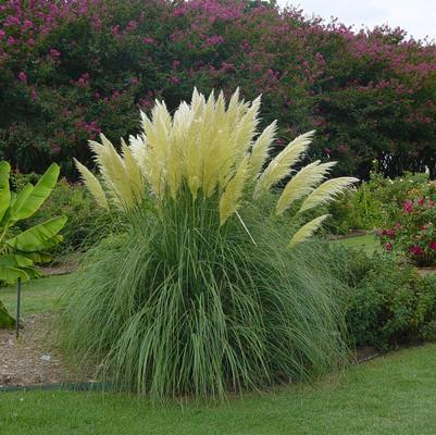 Jet streams dwarf pampas grass from garden debut for Mass planting grasses