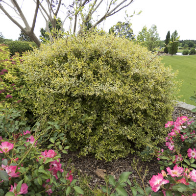 Twist Of Lime Abelia From Garden Debut