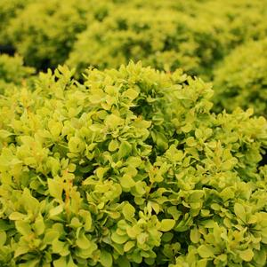 Tiny Gold Barberry
