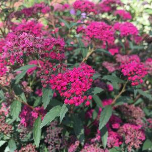 Red Lace™ Spirea