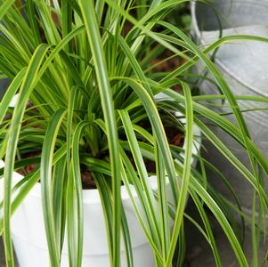Evercolor® Everlime Carex