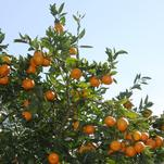 Orange Frost™ Hardy Satsuma Named Texas Superstar®