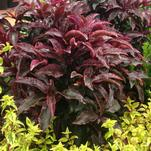 Glowing Red Hot Embers™ Ardisia Delivers Year-Round Color