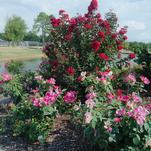 Irresistible Princess Holly Ann™ Crapemyrtle