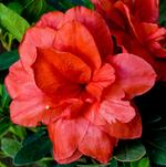 ReBLOOM™ Azaleas Deliver Color in Three Seasons