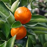 Orange Frost™ Hardy Satsuma; Citrus for the Home Garden