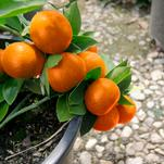 Bumper Satsuma Heavily Loaded with Orange Fruits