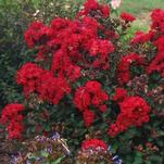 Garden Debut® to release Drury Crimson™ Crapemyrtle in 2017